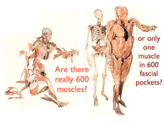 Fascia vs. Muscles