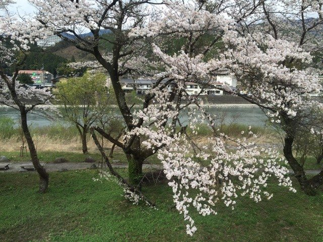 Light Pink Cherry Blossoms