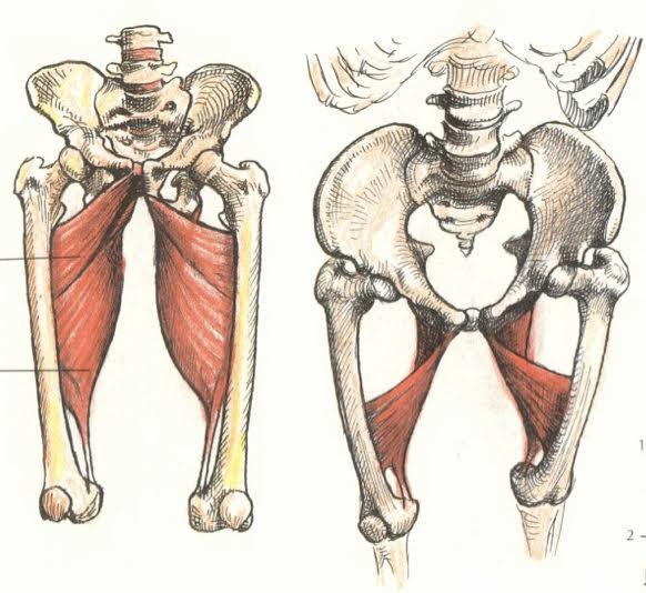 Anatomy Art Series 1 The Adductor Magnus