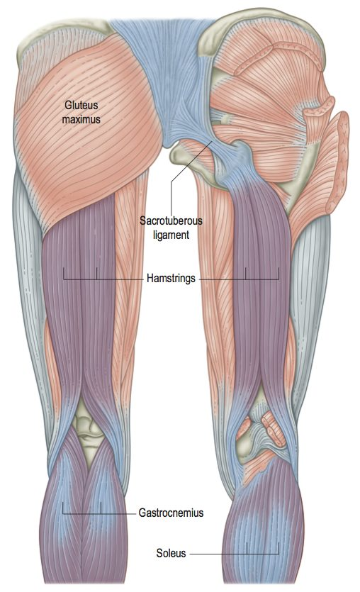 Pure Fascial Release Vs Myofascial Release Anatomy Trains Blog