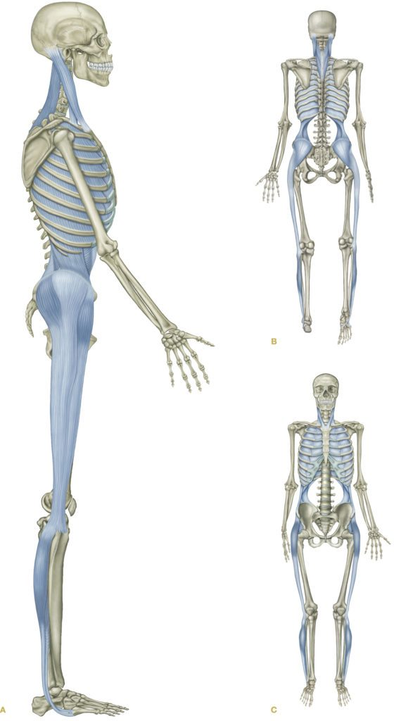 Scientific Evidence for the Anatomy Trains - Myofascial Continuities